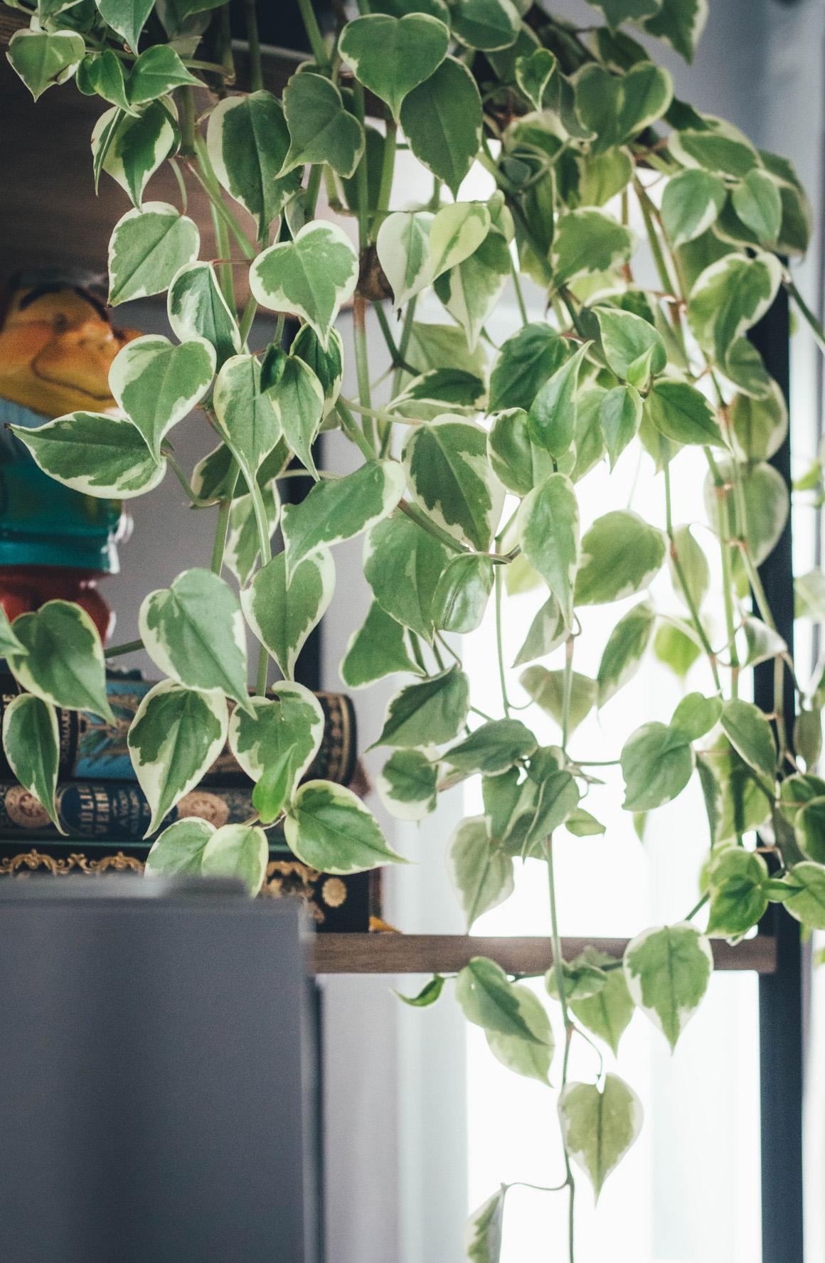 Peperômia em apartamento Plantas de Interiores Colorindo Nuvens